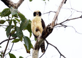 Laughing Falcon - Herpetotheres cachinnans
