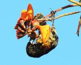 Cherrie's Tanager - Ramphocelus passerinii