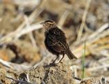 Red-breasted Blackbird - Sturnella militaris (female)