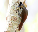 Cocoa Woodcreeper - Xiphorhynchus susurrans (looking into the hole it made for insects)