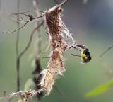 Common Tody-Flycatcher - Todirostrum cinereum (gathering nest material)