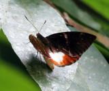 Giant Sugar Cane Borer - Castnia licus