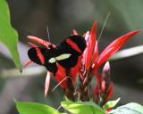 Common Longwing - Heliconius erato
