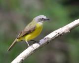 Gray-capped Flycatcher - Myiozetetes granadensis