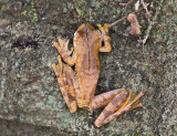 Gladiator Tree Frog - Hypsiboas rosenbergi