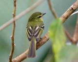 Yellow Tyrannulet - Capsiempis flaveola