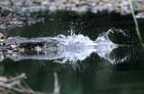 Spectacled Caiman - Caiman crocodilus