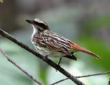 Streaked Flycatcher - Myiodynastes maculatus