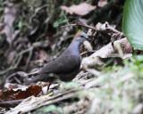 Gray-chested Dove - Leptotila cassinii