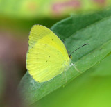 Mimosa Yellow - Pyrisitia nise nelphe