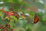 Tiger-striped Longwing - Heliconius ismenius clarescens