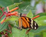 Tiger-striped Longwing - Heliconius ismenius clarescens