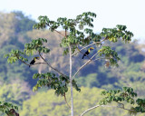 Yellow-throated Toucan - Ramphastos swainsonii