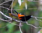 Cherrie's Tanagers - Ramphocelus passerinii (male & female)