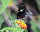 The Doris -  Heliconius doris