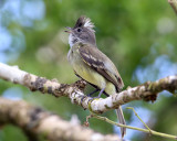 Yellow-bellied Elaenia - Elaenia flavogaster
