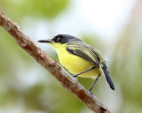 Costa Rica Flycatchers