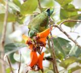 Orange-chinned Parakeet - Brotogeris jugularis