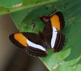 Smooth-banded Sister - Adelpha cytherea
