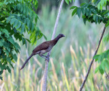 Gray-headed Chachalaca - Ortalis cinereiceps