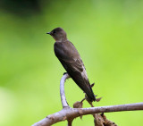 Southern Rough-winged Swallow - Stelgidopteryx ruficollis