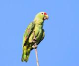 Red-lored Parrot - Amazona autumnalis