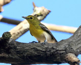 Yellow-throated Vireo - Vireo flavifrons