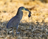 Bare-throated Tiger-Heron - Tigrisoma mexicanum (eating a rat)