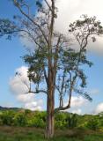 Tree where the Barn Owl lives, and many birds use - next to benab