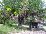 Tree with epiphytes
