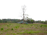 Benab with Barn Owl tree