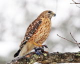 Red-shouldered Hawk - Buteo lineatus (with Blue Jay carcass it stole from the Sharp-shinned Hawk)