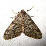 6660 – Small Phigalia - Phigalia strigataria
