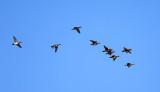 Wood Ducks - Aix sponsa