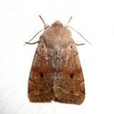10495 – Speckled Green Fruitworm Moth – Orthosia hibisci