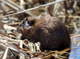 Muscrat - Ondatra zibethicus (with infection on its ear)
