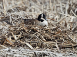 Canada Goose - Branta canadensis (on nest)