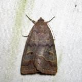 8591 - Common Oak Moth - Phoberia atomaris