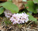 Mayflower or Trailing Arbutus - Epigaea repens