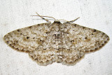 6597 - Small Engrailed - Ectropis crepuscularia