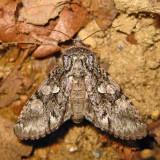 10019 – Figure-Eight Sallow – Psaphida resumens