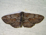 6584 - Small Purplish Gray - Iridopsis humaria