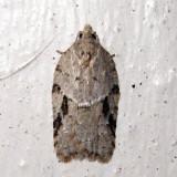 3523 - Acleris cornana