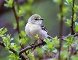 Pine Warbler - Setophaga pinus (female)