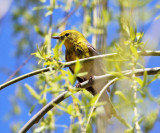 Pine Warbler - Setophaga pinus