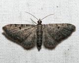 7586.1 - Wormwood Pug - Eupithecia absinthiata