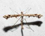 6109 - Artichoke Plume Moth - Platyptilia carduidactylus