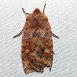 9935 – Three-Spotted Sallow – Eupsilia tristigmata