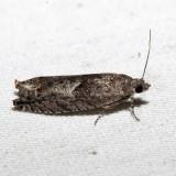 3228 - Gypsonoma salicicolana