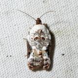 3510 – Snowy-shouldered Acleris – Acleris nivisellana